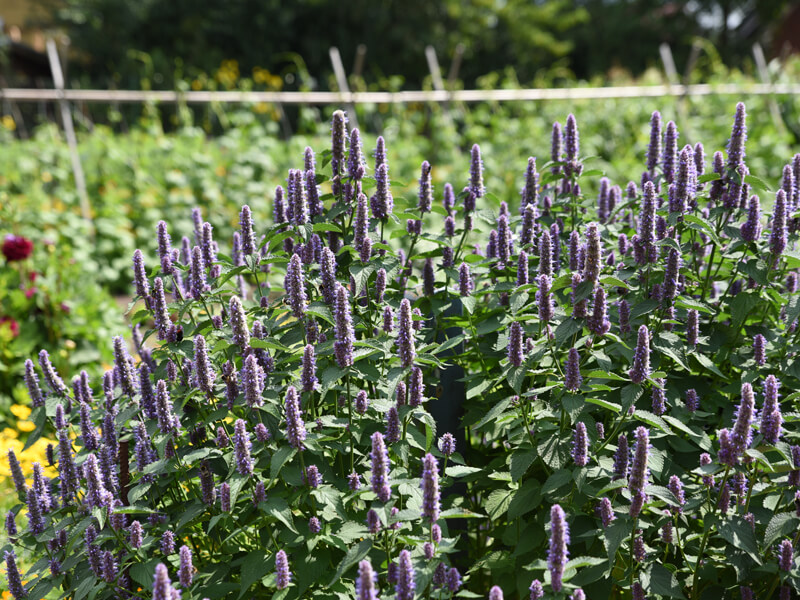 Anisminze Bienenfutterpflanze Bienenweide
