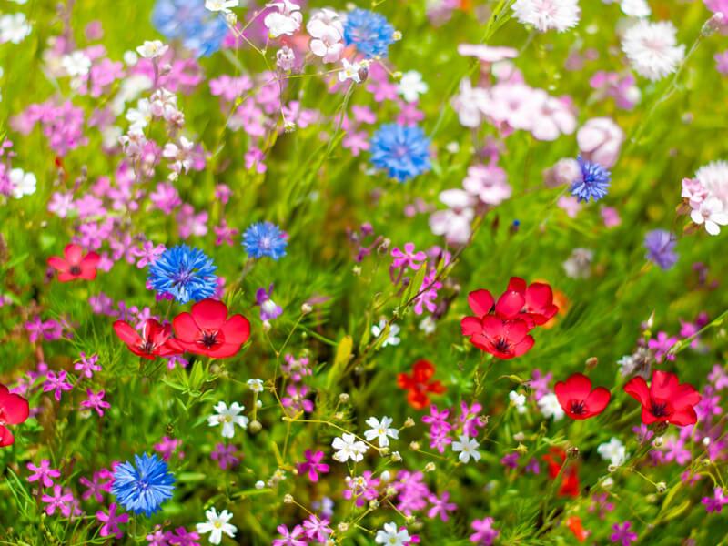 Blumenwiese säen Blumenmischung kaufen