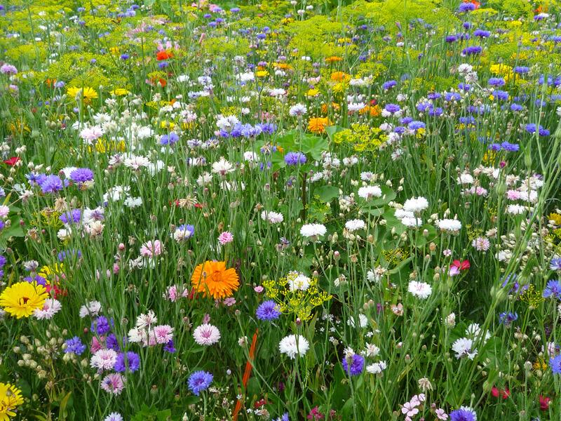 Blumenwiese-Saatgut und Wildblumensamen für farbenfrohes Blütenmeer