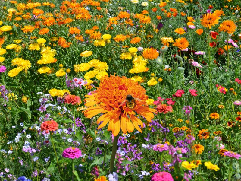 einjährige Blumenmischung mit Sommerblumen 'Blütenteppich'