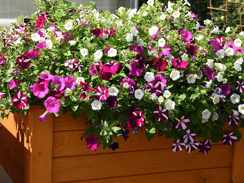 Blumen als Hochbeet-Pflanzen