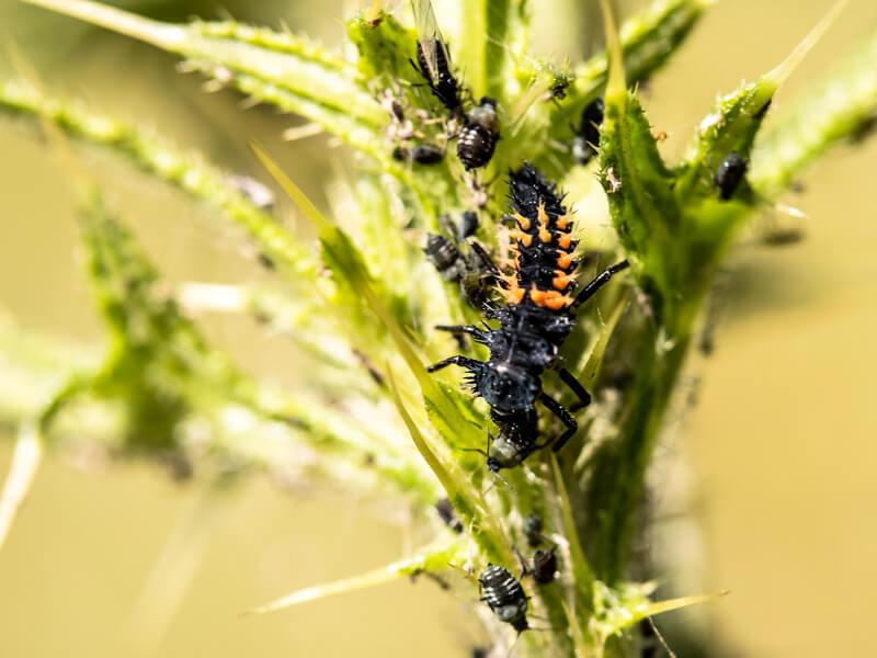 Marienkäferlarven fressen Blattläuse.