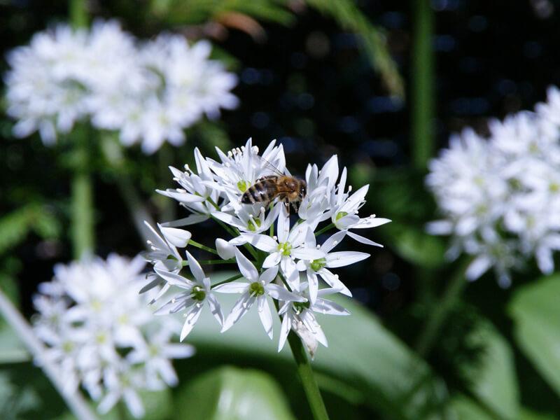 Beetplaner Kräuter für Bienen