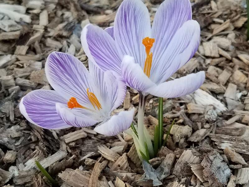 Blumenbeet mulchen / Staudenbeet mulchen