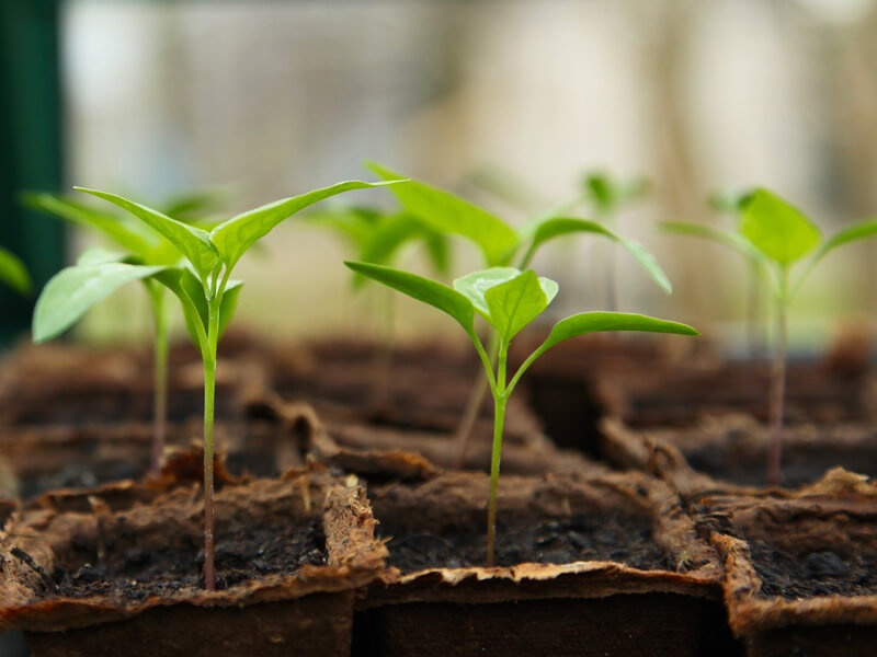 Tipps Gemüse vorkultiveren: So gelingt die Vorkultur von Jungpflanzen