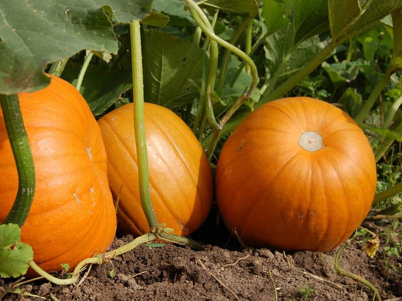 Boden verbessern für ein ertragreiches Gemüsebeet