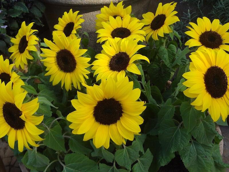 Gründüngung durch Sonnenblumen
