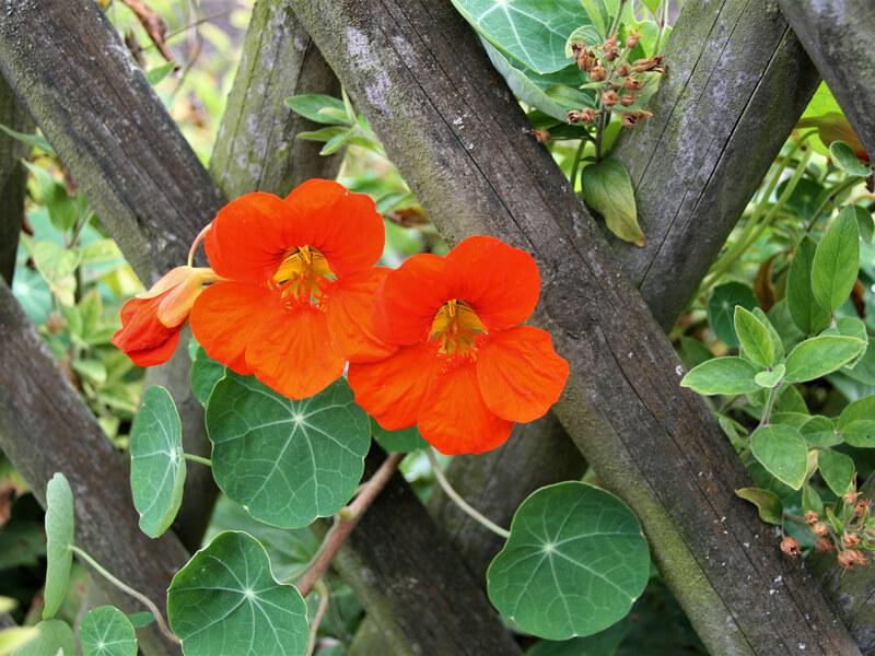 Kräutern mit Blüten