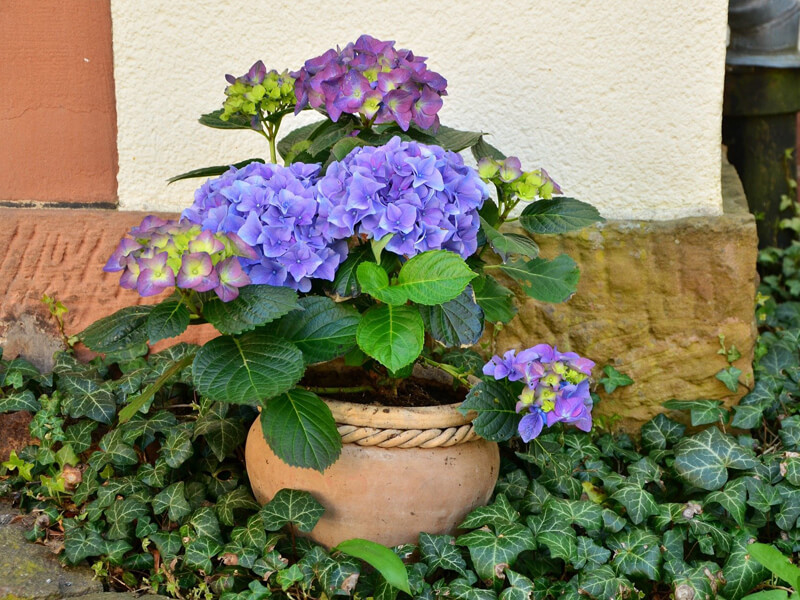 Kübelpflanzen für Schatten / schattige Standorte