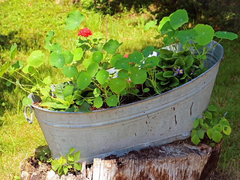 Kübelpflanze für Sonne / sonnige Standorte