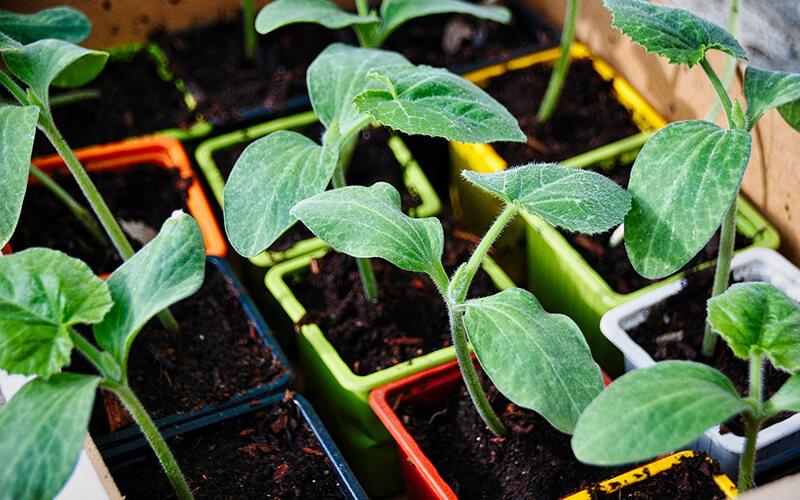 Header Vorkultur und Direktsaat-jungpflanzen
