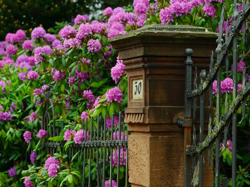 Rhododendron düngen leicht gemacht